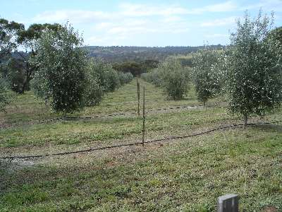 Clackline Valley Olive Grove